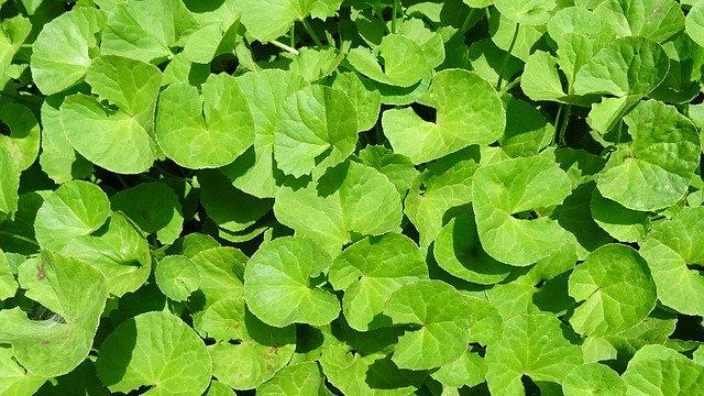 brahmi zelená bylina